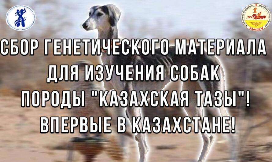"""Сбор генетического материала для изучения собак породы """"Казахская Тазы""""! Впервые в Казахстане!"""